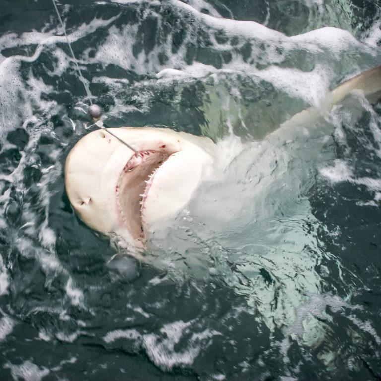 Fisherman Catching Shark